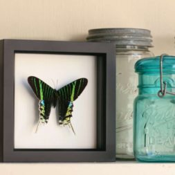 framed moth