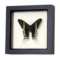 real framed moths
