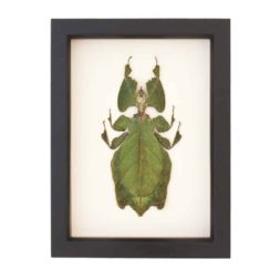 real framed walking leaf