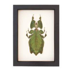 real framed walking leaf
