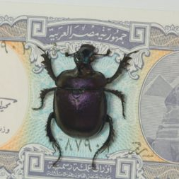 real scarab beetle with money