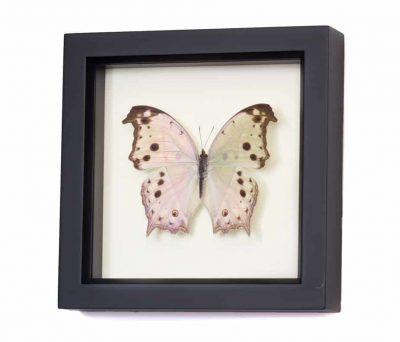 salamis parhassus purchase butterflies
