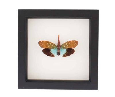 a framed lantern fly species props intricata