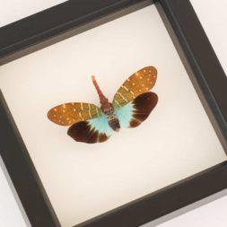 pyrops intricata framed specimen