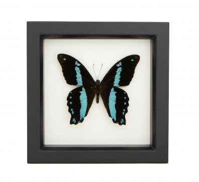 Framed Blue Banded Swallowtail
