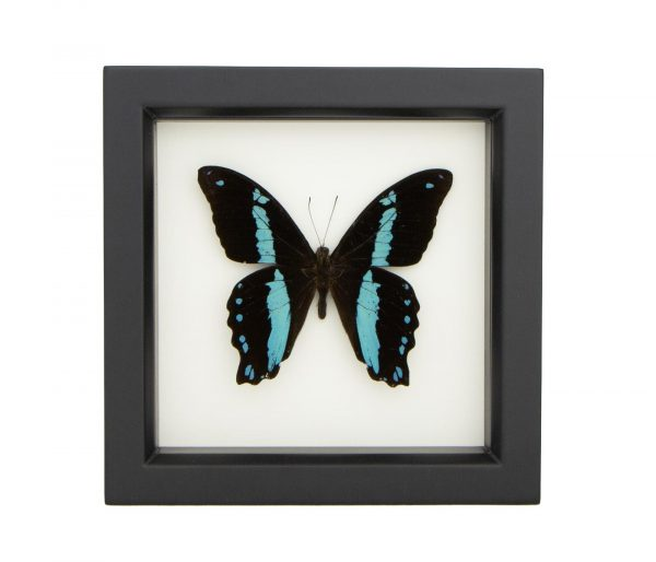 blue banded swallowtail