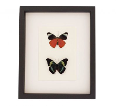 Red Flasher Butterfly Collection
