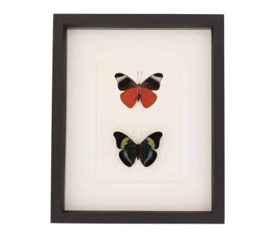 collection of butterflies featuring a red flasher butterfly