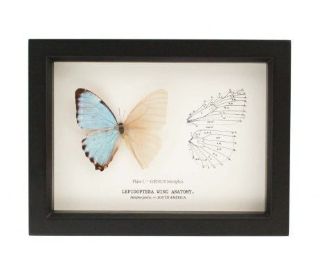 cabinet of curiosity butterfly