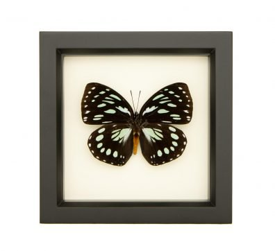 Framed African Queen Butterfly