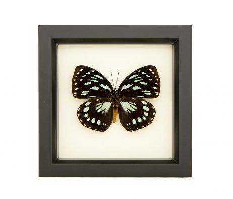 framed Euxanthe eurinome