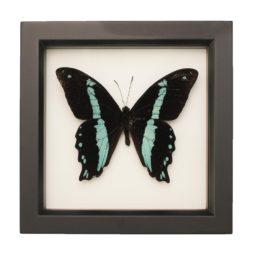 framed Papilio nireus