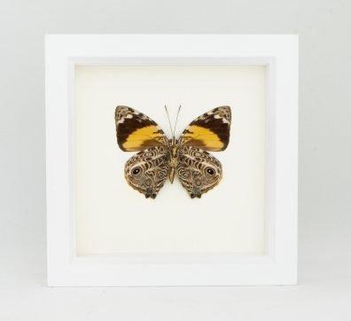 Framed Blomfild's Beauty Butterfly (Smyrna blomfildia)