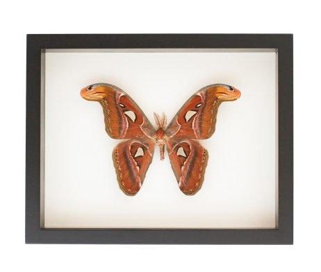 framed atlas moth