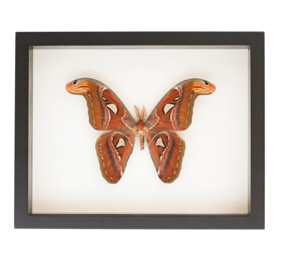framed atlas moth