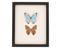 framed portis blue morpho butterfly set