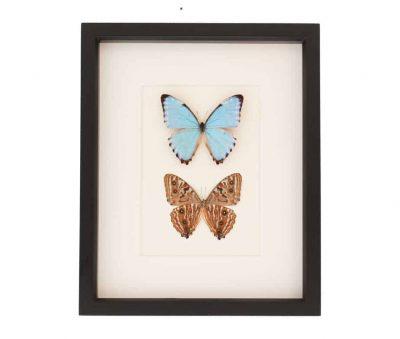 framed portis blue morpho butterfly set