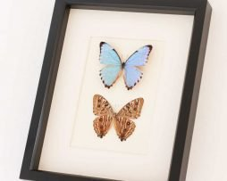 blue morpho butterfly set