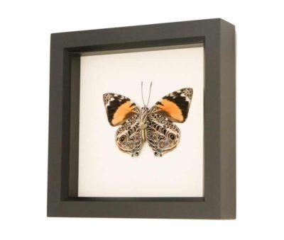 framed butterflies for sale