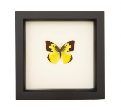 framed dogface butterfly