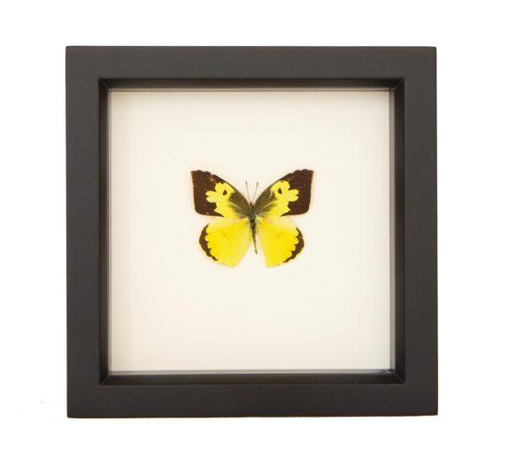 framed dogface butterfly
