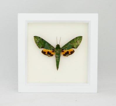 Framed Verdant Sphinx Moth (Euchloron megaera)
