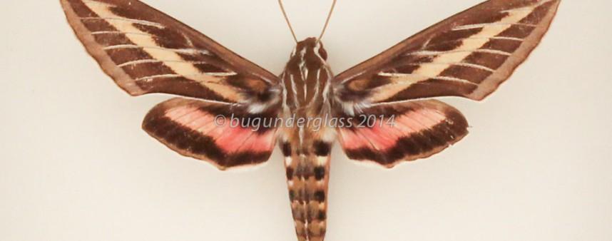 framed moth hyles lineata