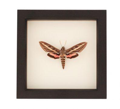 Framed White Lined Sphinx Moth (Hyles lineata)