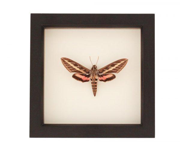 white lined hawk moth