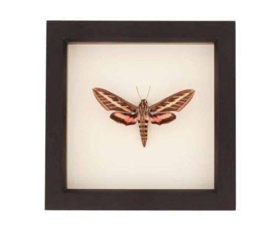 moths for sale