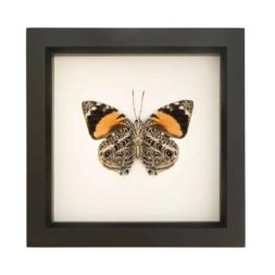 framed butterfly blomfild beauty