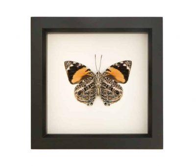 framed butterfly blomfild beauty