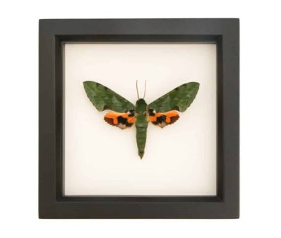 preserved moth for sale