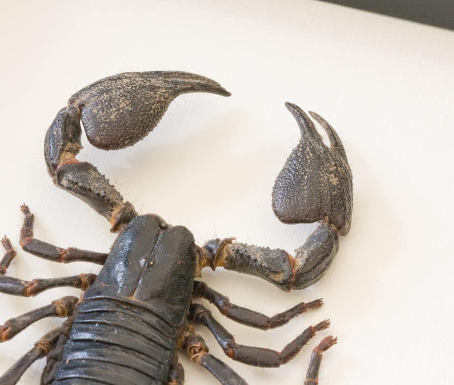 real scorpion specimen