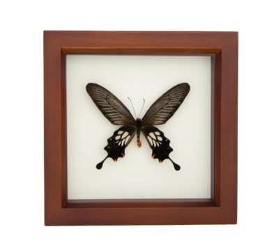 Framed Windmill Butterfly (Atrophaneura (Losaria) coon)