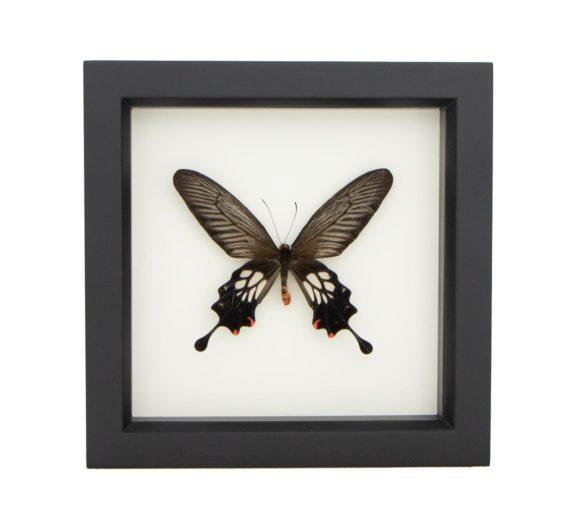 framed atrophaneura coon windmill butterfly