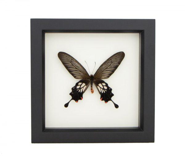 framed atrophaneura coon windmill butterfly