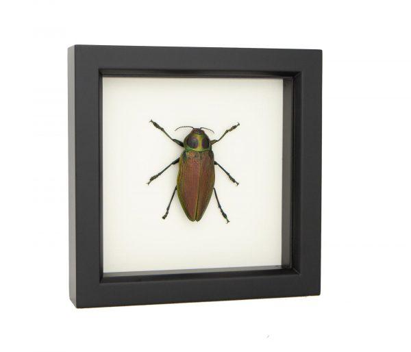 beetle taxidermy jewel beetle