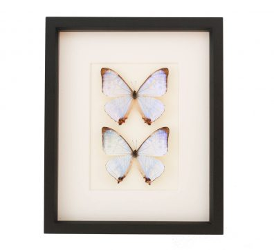 Pearl Morpho Butterfly Collection