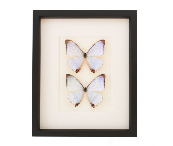 pearl morpho collection