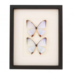 butterfly collection pearl morpho