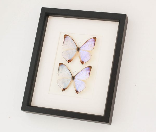 morpho butterfly collection