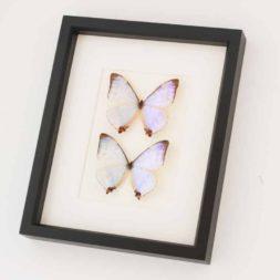 pearl morpho butterfly set