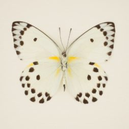 butterfly specimen polka dot