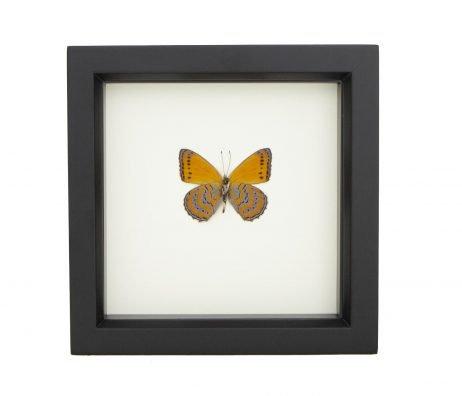 framed ASTEROPE PECHUELI