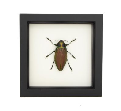 framed-Euchroma gigantea jewel beetle