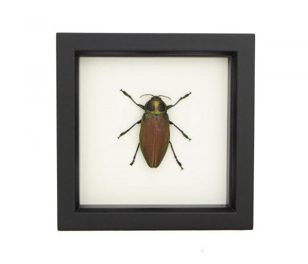framed-Euchroma gigantea jewel beetle