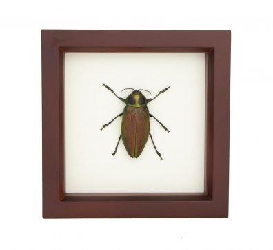Framed Giant Jewel Beetle (Euchroma gigantea)