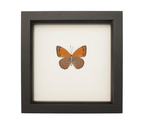 framed Meadow Wanderer Butterfly
