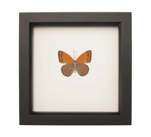framed Meadow Wanderer Butterfly
